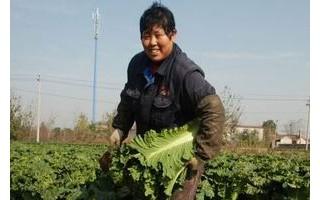 天津市北辰区大张庄镇菜农抢收大白菜