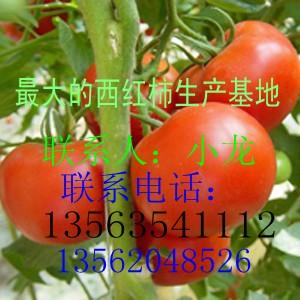 供应大红西红柿生产基地现已大量上市