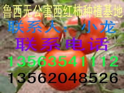 鲁西无公害西红柿供应基地
